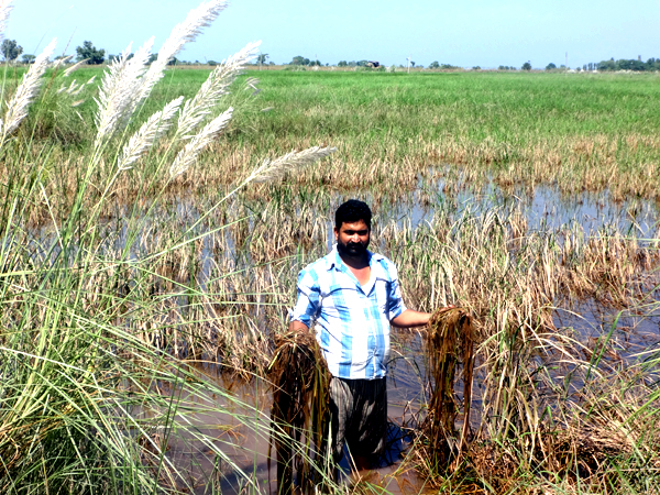A farmer showing damaged paddy crop near Mangral village in Suchetgarh. (Another pic on page 6)