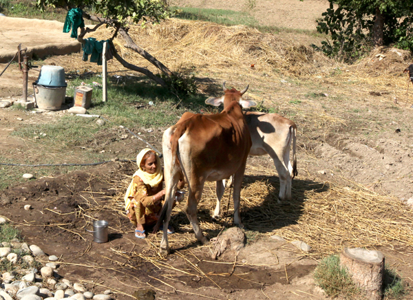 A woman milks a cow on the outskirts of Jammu. —Excelsior/Rakesh