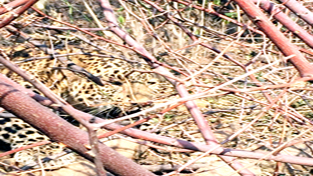 A leopard trapped in Birpur area on Wednesday. —Excelsior/Gautam