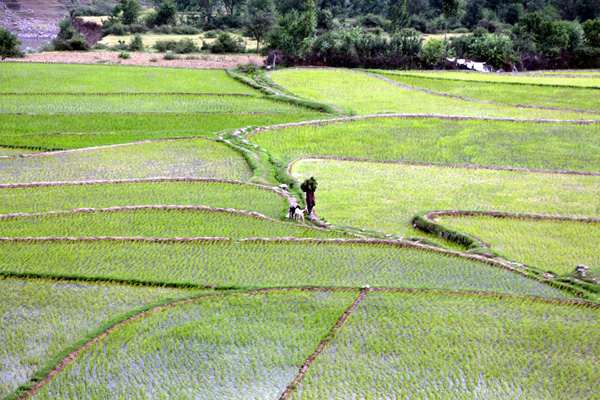 Villagers return home after working in a paddy field in Boniyar area of Baramulla district on Sunday. —Excelsior/Aabid Nabi