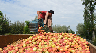 A grower dumping apples in a tractor cart at Pulwama district on Tuesday. -Excelsior/ Younis Khaliq