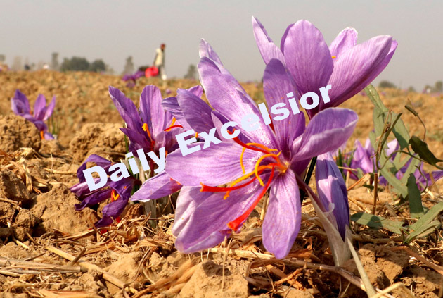Saffron production ready for harvest in Pampore Karewas in south Kashmir.Excelsior\Shakeel-ul-Rehman