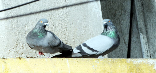 Pigeons enjoying the warmth of Sun during a winter morning in Bangalore on Friday.(UNI)