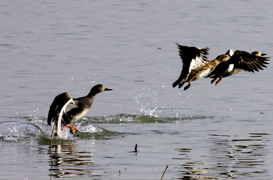 As water bodies start freezing due to decline in temperatures, migratory birds shifting towards plains in Srinagar. — Excelsior / Shakeel