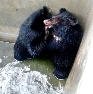 Two bear cubs struck in a well at Gousaennaad Ladhoo in Pampore area of Pulwama district on Wednesday. — Excelsior/Younis Khaliq