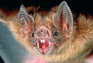 'Vampire bats found sucking human blood'