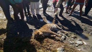 Leopard found dead, another spotted