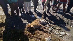 Body of dead leopard found in Dudwar Changa area of tehsil Gandoh, district Doda. —Excelsior/Tilak Raj