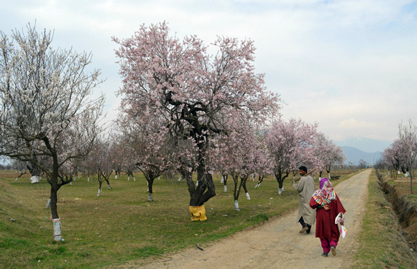 Almond flowers bloom in Pulwama with the onset of spring season in Valley. — Excelsior/Younis Khaliq