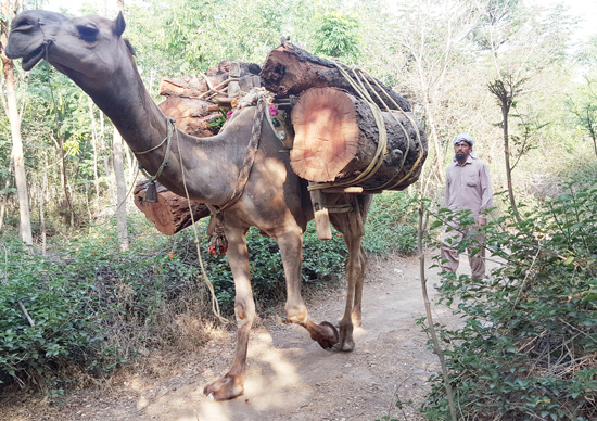 A Camel transporting woods on the outskirts of Jammu — Excelsior/Rakesh