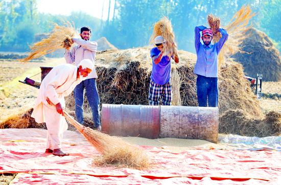 Farmers thrash paddy in Baramulla fields. -Excelsior/Aabid Nabi