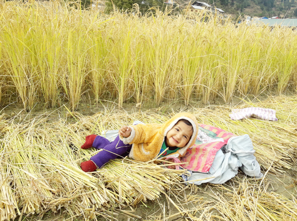 A child enjoys on paddy crop's 'bed' in Bhaderwah on Sunday. (UNI)
