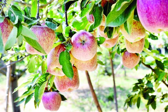 A fresh crop of apples at an orchard on the outskirts of Srinagar. —Excelsior/Shakeel
