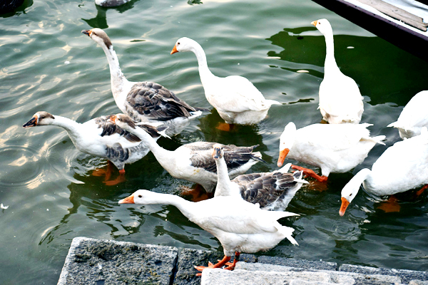 Ducks and Geese rest on the banks of Dal lake in Srinagar. -Excelsior/Shakeel