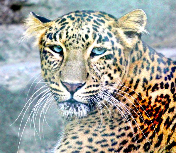 Leopard rests in an enclosure at Manda Wildlife Sanctuary in Jammu. -Excelsior/Rakesh