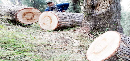 Unabated cutting of trees is going on in Chenab circle of Doda. (UNI)