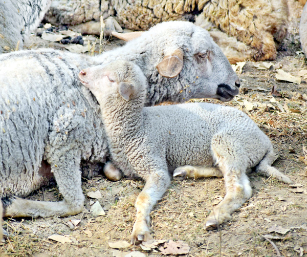 Lamb sleeps on the mother on the outskirts of Srinagar. -Excelsior/Shakeel