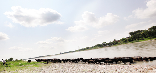 Buffaloes quenching thirst at river Chenab in Akhnoor. —Excelsior/Rakesh
