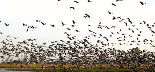 Bar-headed Geese present a panoramic view at Gharana wetland in R S Pura on Tuesday. -Excelsior Photo