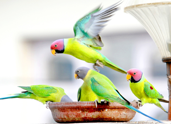 Lunch time for parrots.... —Excelsior/Rakesh
