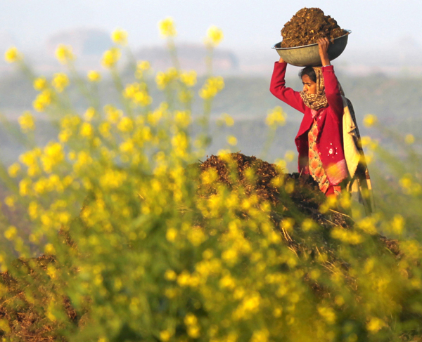 A woman works in the fields on the outskirts of Jammu. —Excelsior/Rakesh