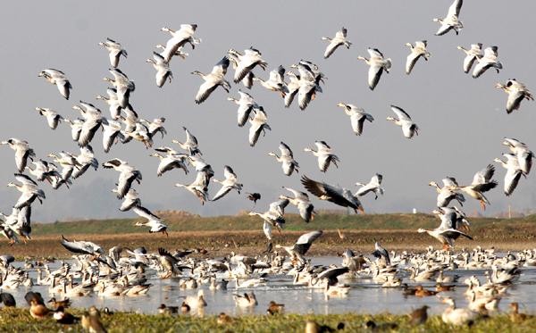 Migratory birds take flight over Gharana wetland in R S Pura. —Excelsior/Rakesh