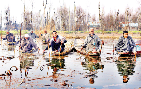 Kashmiri men on 'Shikaras' harvest Lotus roots (Nadru) on Dal lake in Srinagar. -Excelsior/Shakeel