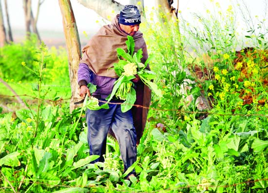 A farmer collects vegetables from his field on the outskirts of Jammu. -Excelsior Rakesh