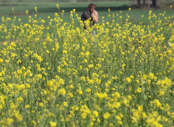 A farmer walks through a mustard field on the outskirts of Jammu. —Excelsior/Rakesh