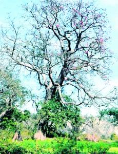 Majestic Tree at Manoha