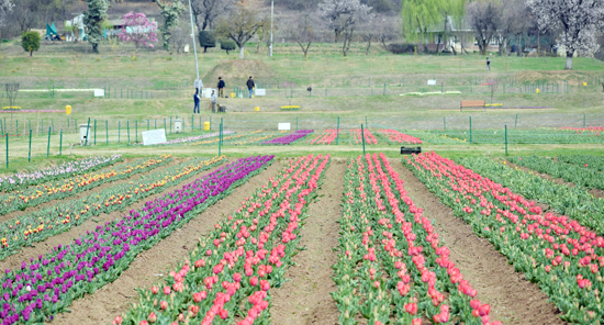 Asia's largest Tulip Garden on the banks of Srinagar's Dal lake will be thrown open to visitors on March 25. —Excelsior/Shakeel