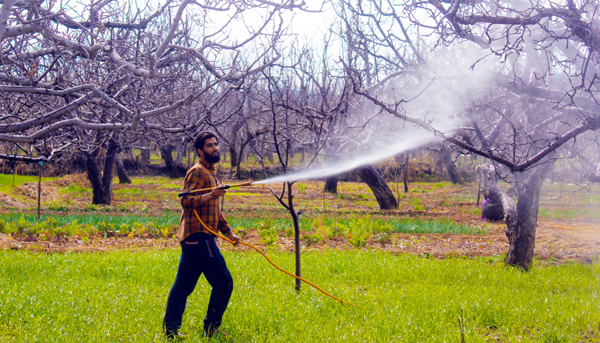 A farmer spraying chemical on apple trees at Drubgam in Pulwama. -Excelsior/Younis Khaliq