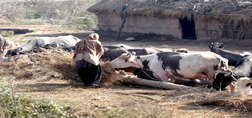 A woman feeds cattle in a Jammu village. —Excelsior/Rakesh