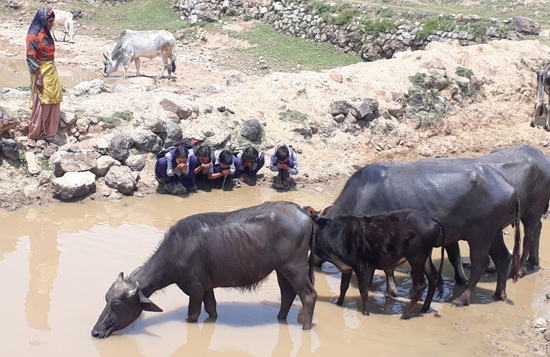 School children and cattle drinking water from same pond at village Sangar near Ransoo in Reasi district on Saturday.
