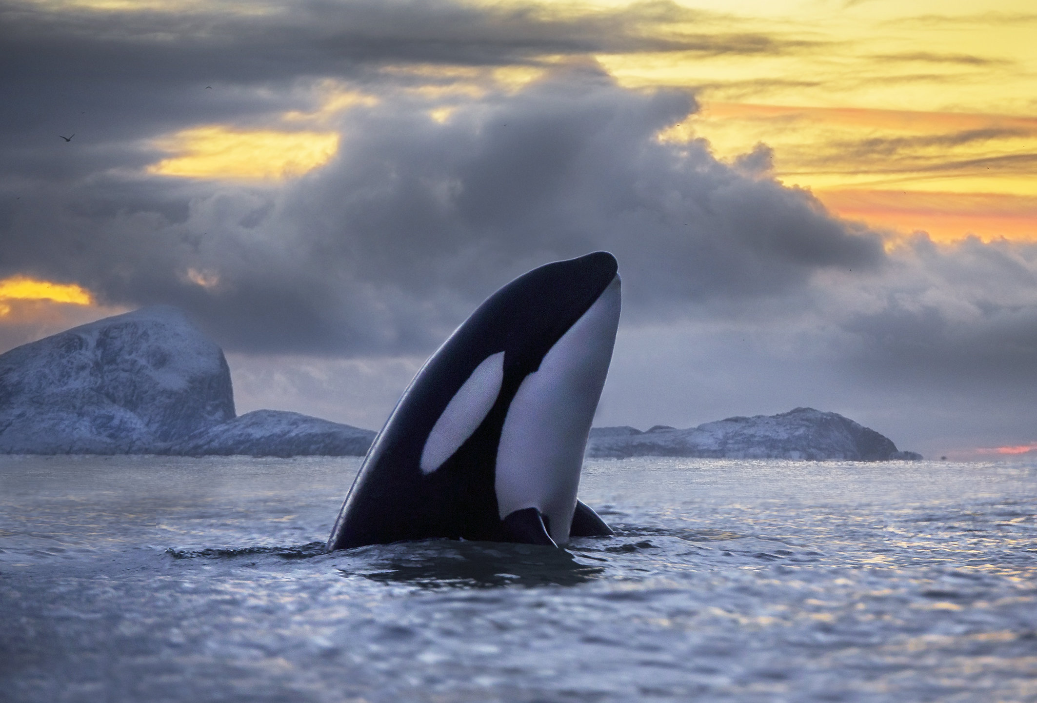 Toxic PCBs threaten orcas around the world