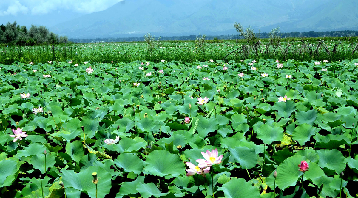 A panoramic view of floating Lotus Garden at Dal lake in Srinagar. (UNI)