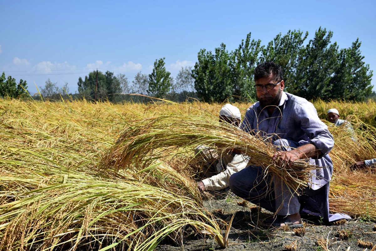 A farmer harvesting his annual paddy crop at Kakapora in Pulwama district. —Excelsior/Younis Khaliq