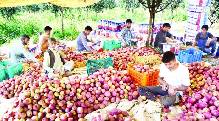 A group of farmers busy in packing apples at Bandzoo in Pulwama district. —Excelsior/Younis Khaliq