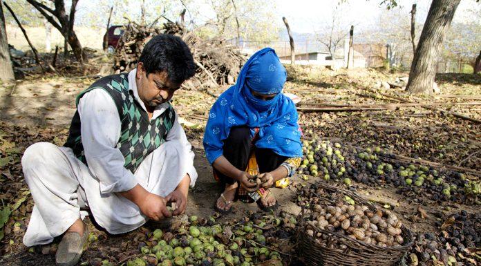 Kashmiri farmers peel off walnuts at a village in Anantnag. -Excelsior/Sajad Dar