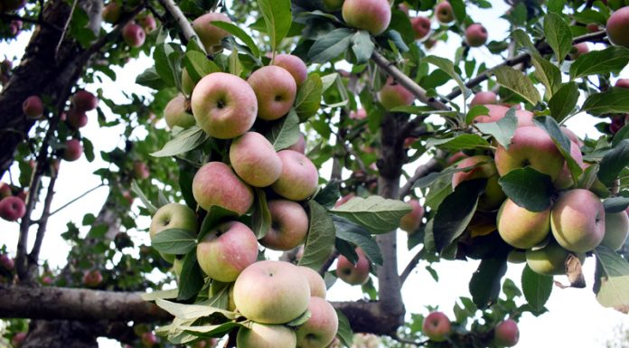 Fresh crop of apples at an orchard on the outskirts of Srinagar. -Excelsior/Shakeel.