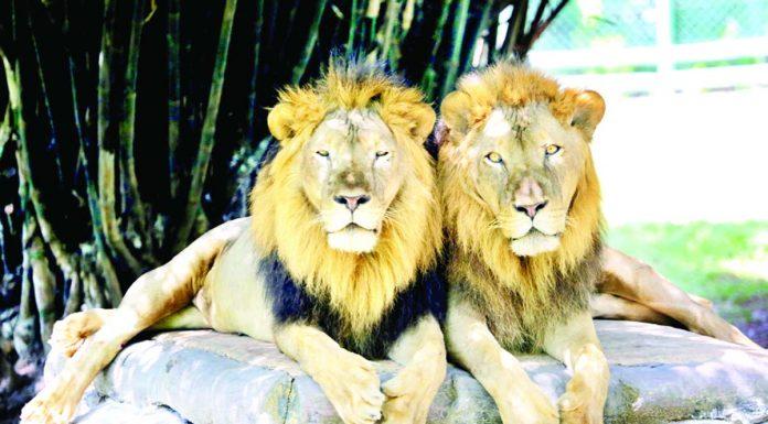A pair of lion enjoying sunny day inside Tata Steel Zoological Park (TSZP) in Jamshedpur, Jharkhand on Sunday. (UNI)