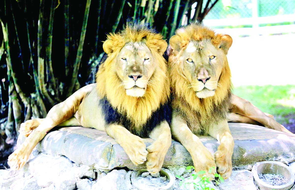 A pair of lion enjoying sunny day inside Tata Steel Zoological Park (TSZP) in Jamshedpur, Jharkhand on Sunday. (UNI)