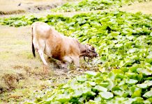 A cow grazing Lily leaves in the interior of Dal lake. -Excelsior/Shakeel
