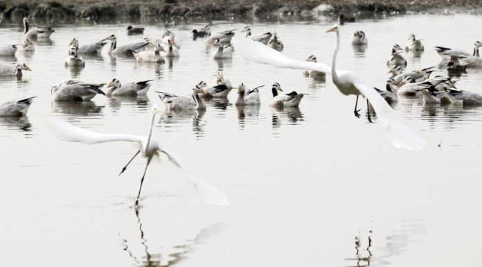 Migratory birds land at Gharana wetland near Indo-Pak border in RS Pura sector. —Excelsior/Rakesh