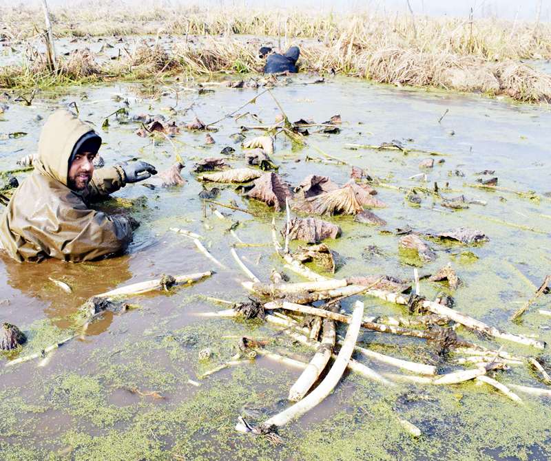 Men collect lotus roots from the waters of Anchar lake on a cold winter day in Srinagar. —Excelsior/Shakeel