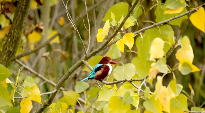 A kingfisher sits on a tree branch in the interiors of Dal lake in Srinagar. —Excelsior/Shakeel