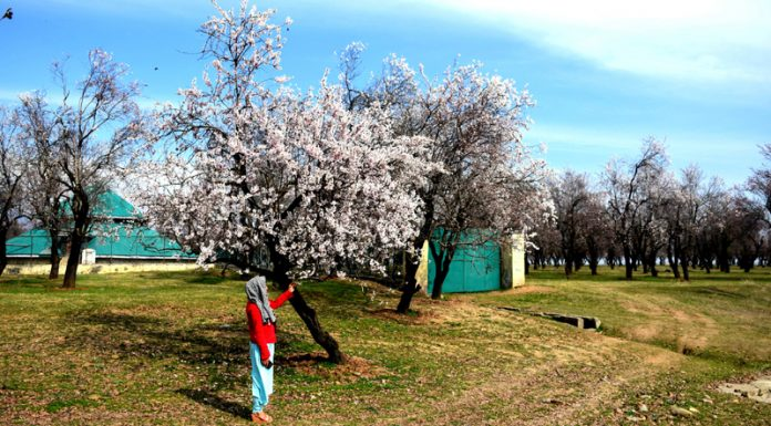 Almond trees blossom at Pulwama. -Excelsior/Younis Khaliq