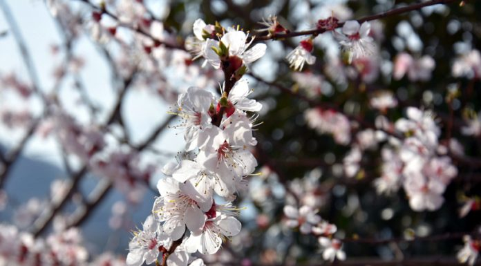 With onset of spring, flowers blossom on trees in Mendhar. -Excelsior/Rahi Kapoor