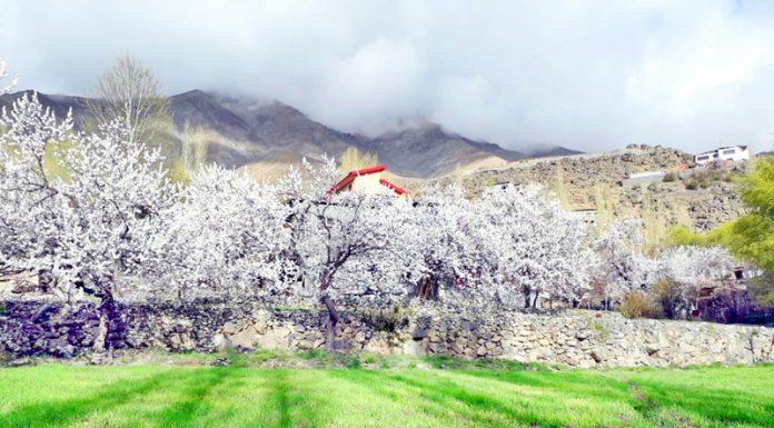 Apricot trees blossom in Kargil. -Excelsior/Basharat Ladakhi