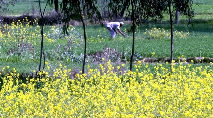 Farmer working in a mustard field on the outskirts of Jammu. -Excelsior/Rakesh